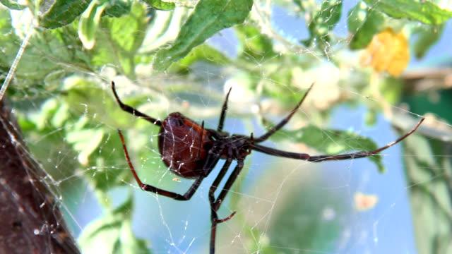 black widow spider maintaining web - black widow spider stock videos & royalty-free footage