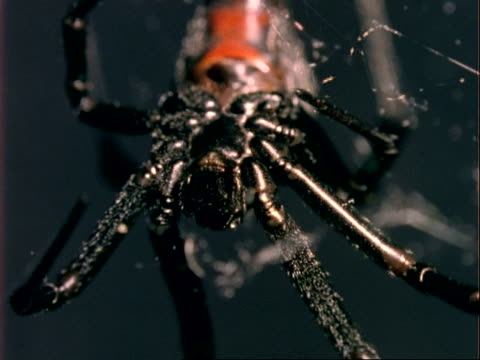 bcu black widow spider on web, usa - black widow spider stock videos & royalty-free footage
