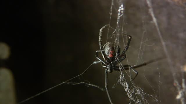 cu, black widow spider (latrodectus mactans) tending web, burbank, california, usa - black widow spider stock videos & royalty-free footage