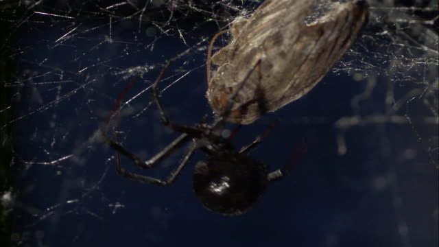 a black widow spider tends to a moth stuck in its web. - black widow spider stock videos & royalty-free footage