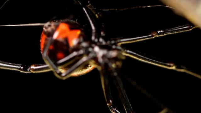 black widow spider - black widow spider stock videos & royalty-free footage
