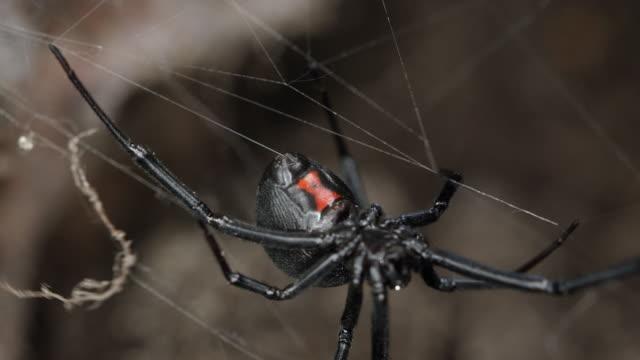 black widow spider walking on web - black widow spider stock videos & royalty-free footage