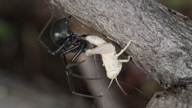 black widow spider with grasshopper stuck in its web - black widow spider stock videos & royalty-free footage