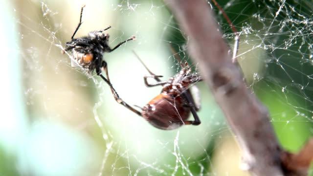 black widow spider wrapping housefly - stubenfliege stock-videos und b-roll-filmmaterial
