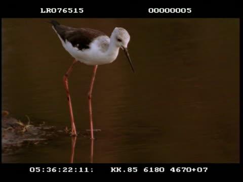 ms black wing stilt, juvenile, feeding - 動物の口点の映像素材/bロール