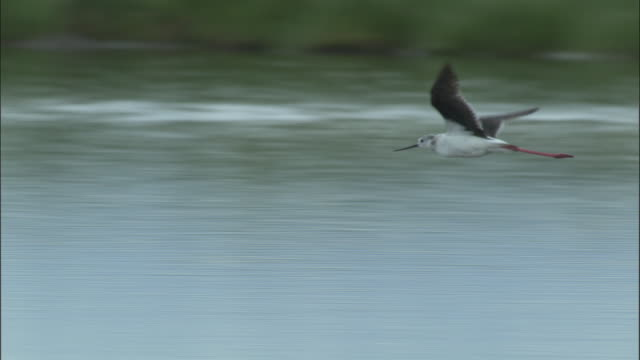 Black winged stilt flies low over water, Bayanbulak grasslands. (VERY SHORT)