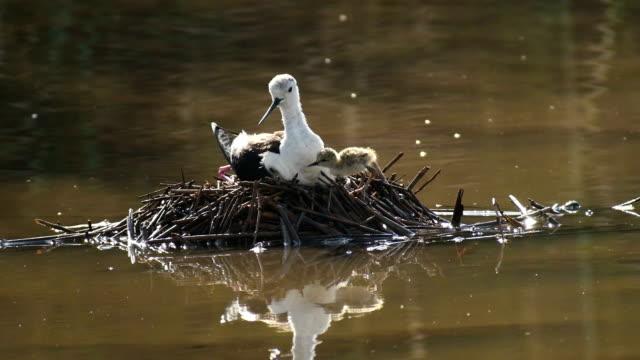 black winged stilt (himantopus himantopus) in the nest - nest stock-videos und b-roll-filmmaterial