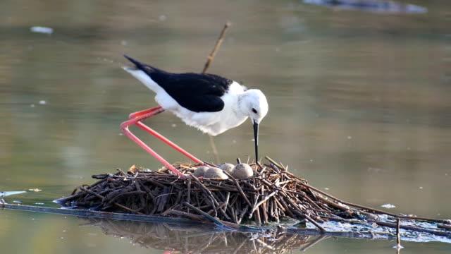 Black winged stilt (Himantopus himantopus) nesting in shallow water