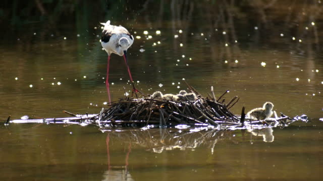 black winged stilt (himantopus himantopus) nesting with chicks - bird's nest stock videos & royalty-free footage