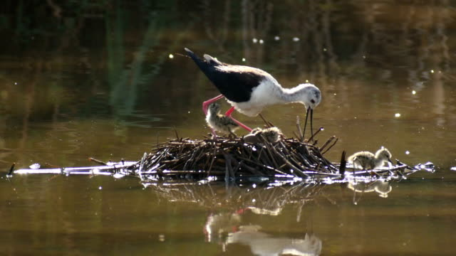 Black winged stilt (Himantopus himantopus) nesting with chicks