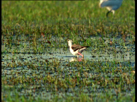 black winged stilt wades and feeds - apparato digerente animale video stock e b–roll