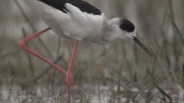 black winged stilt wades through marshland available in hd. - apparato digerente animale video stock e b–roll