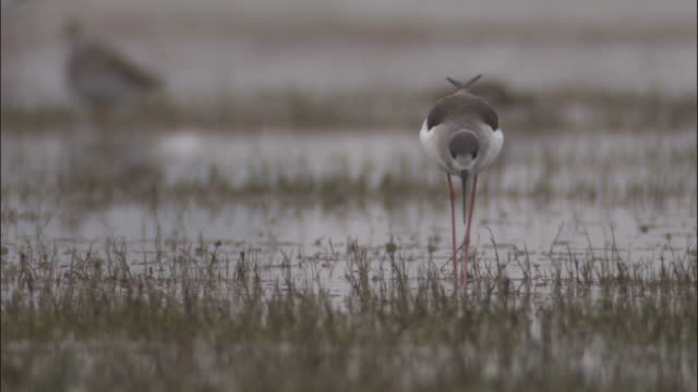 black winged stilt wades towards camera through marshland available in hd. - apparato digerente animale video stock e b–roll