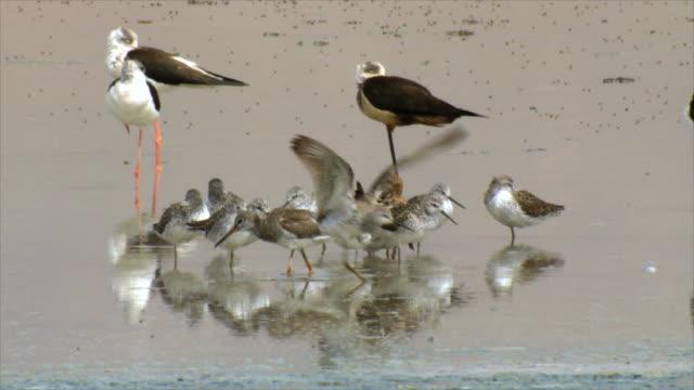 ms black winged stilt wading and feeding in water / eilat, negev desert, israel - waist deep in water stock videos & royalty-free footage