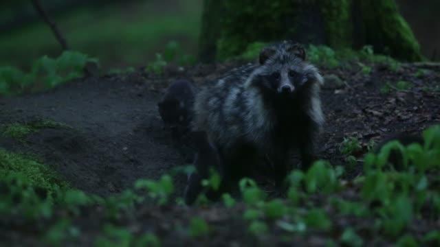 Schwarzer Wolf (Canis Lupus) kümmert sich um Welpen