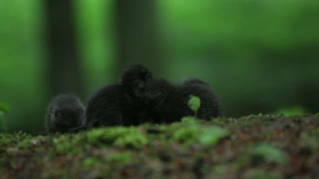 Schwarzen Wolfswelpen (Canis Lupus) spielen auf Waldboden
