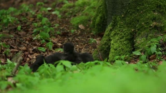 Filhotes de lobo negro (Canis lupus) jogar no chão da floresta