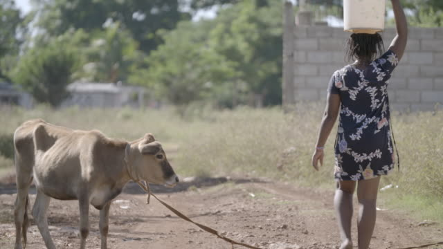 WS of Black woman carrying water on her head next to a cow NO