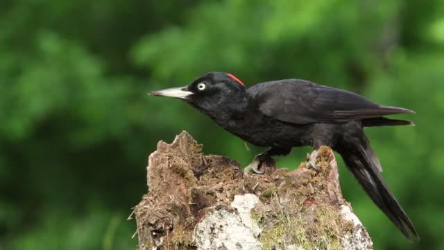 black woodpecker (dryocopus martius) feeding on an anthill. - woodpecker stock videos & royalty-free footage