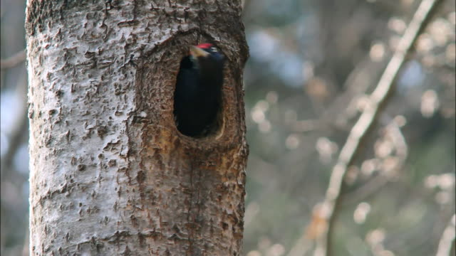 black woodpecker making its nest in the dmz (demilitarized zone between south and north korea), goseong-gun - bird's nest stock videos & royalty-free footage