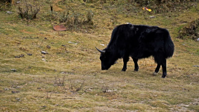 Black yak eating grass on the way to Zero point in Sikkim, India