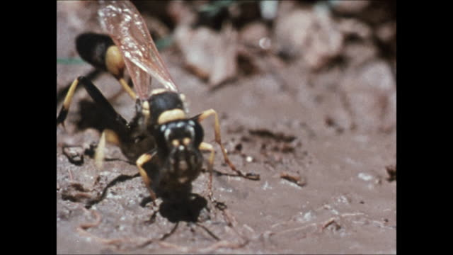 Black yellow wasp grabbing chunks of mud w/ mandibles rolling into ball carrying TD MS Wasp on mud nest sealing hole ZO WS Nest wasp on beam second...