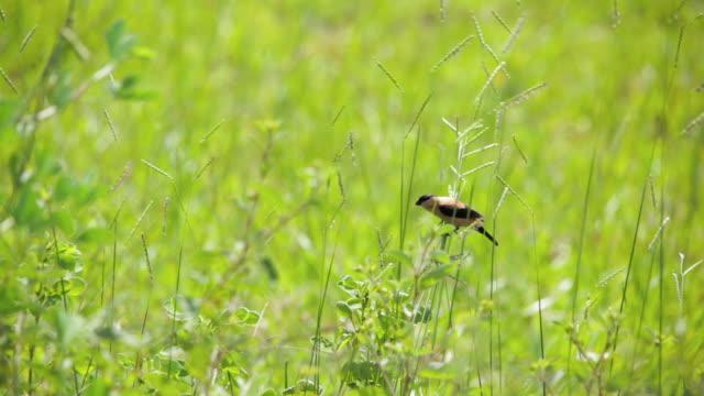 black-and-tawny seedeater (sporophila nigrorufa) - cerrado stock videos & royalty-free footage