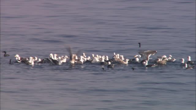 Black-backed gull catching small fry in Hokkaido