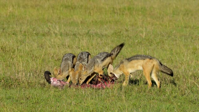 black-backed jackal, canis mesomelas, group on carcass, masai mara national reserve, kenya, africa - 死んでいる動物点の映像素材/bロール