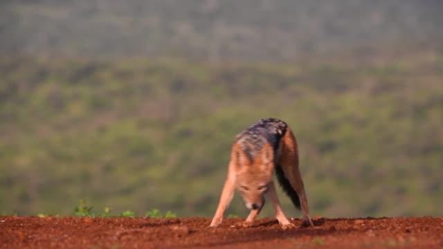 black-backed jackal eating prey, natal - south africa - eyal bartov stock videos and b-roll footage