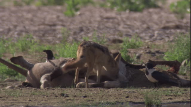 a black-backed jackal scavenges on the carcass of a gemsbock, skeleton coast, namibia. available in hd. - dead animal stock videos and b-roll footage