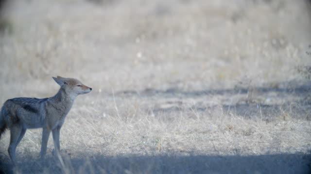 stockvideo's en b-roll-footage met ms selective focus black-backed jackal (canis mesomelas) wandering in savannah / kgalagadi transfrontier park/ kgalagadi district/ botswana - vignettering