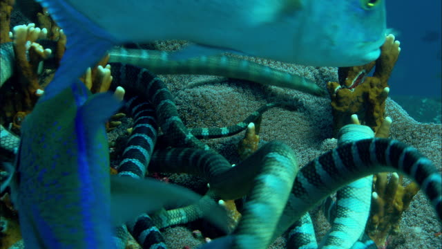vídeos y material grabado en eventos de stock de black-banded sea kraits (laticauda semifasciata) feed on coral reef, banda islands, indonesia - isla de sumatra