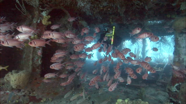 ms, blackbar soldierfish (myripristis jacobus) and female diver swimming around shipwreck covered with corals, saint lucia - obsolete stock videos & royalty-free footage