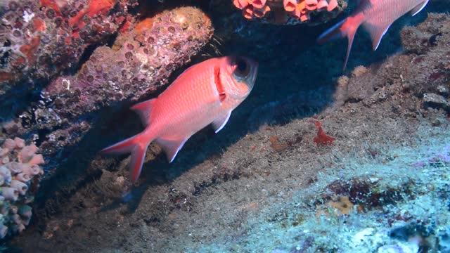blackbar soldierfish. - squirrelfish stock videos & royalty-free footage
