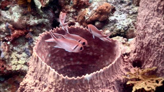 cu, ha, blackbar soldierfishes (myripristis jacobus) moving around barrel sponge, saint lucia - イットウダイ点の映像素材/bロール
