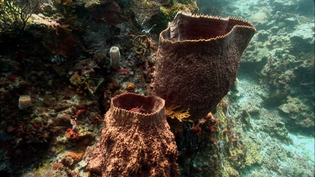ms, ha, zi, cu, blackbar soldierfishes (myripristis jacobus) moving around barrel sponge, saint lucia - イットウダイ点の映像素材/bロール