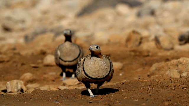 Black-bellied sandgrouse/Pterocles orientalis-Desert Birds coming to drink in the desert