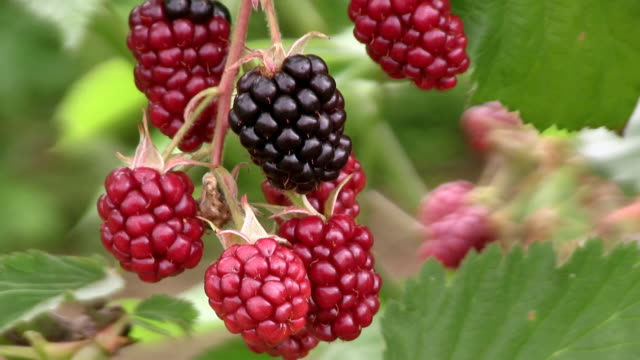 cu blackberries at tree / serrig, rhineland-palatinate, germany - fruit tree stock videos & royalty-free footage