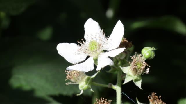 vídeos de stock e filmes b-roll de blackberry flower closeup - estame