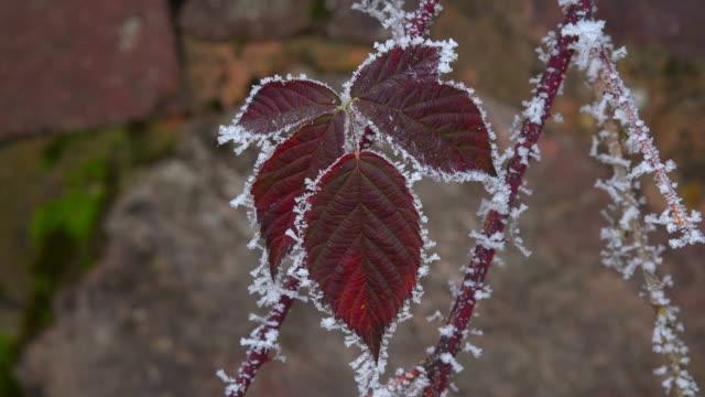 vídeos de stock e filmes b-roll de blackberry leaves with hoarfrost in winter - geada