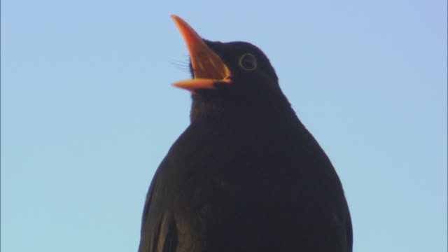 blackbird (turdus merula) calls and looks around, scotland, uk - birdsong stock videos & royalty-free footage