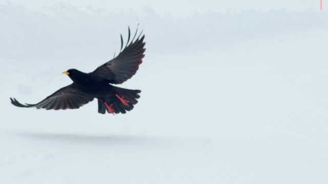 雪に覆われた地面を離れて飛んで slo mo ブラックバード - ムクドリ点の映像素材/bロール