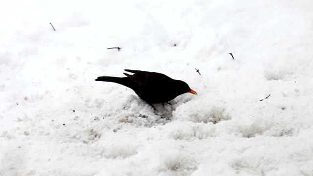 vídeos de stock e filmes b-roll de blackbird em neve - gelo picado