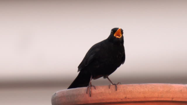 a blackbird singing on top of a chimney in the city, with clear crisp sound - singing stock videos & royalty-free footage