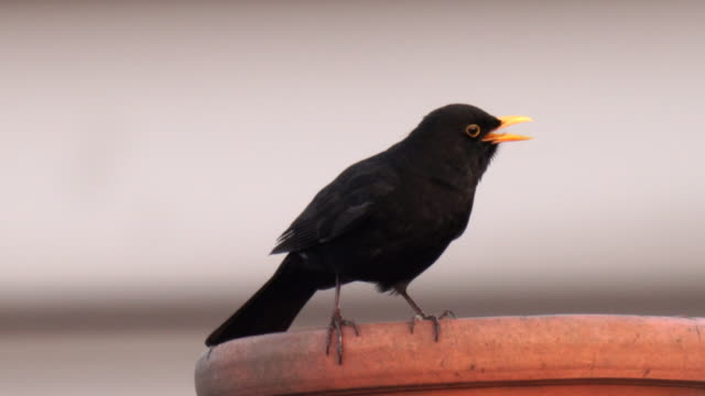 a blackbird singing on top of a chimney in the city, with clear crisp sound - perching stock videos & royalty-free footage