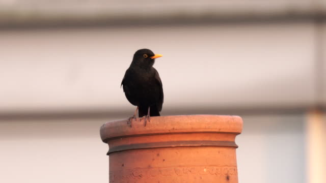 a blackbird singing on top of a chimney in the city, with clear crisp sound - audio available stock videos & royalty-free footage