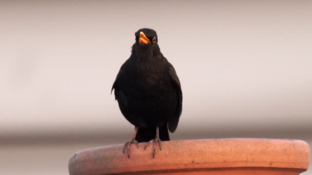 a blackbird singing on top of a chimney in the city, with clear crisp sound - birdsong stock videos & royalty-free footage