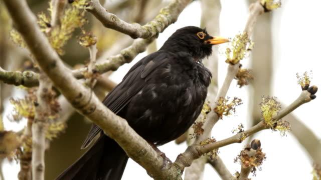 vidéos et rushes de blackbird chanter - chanter