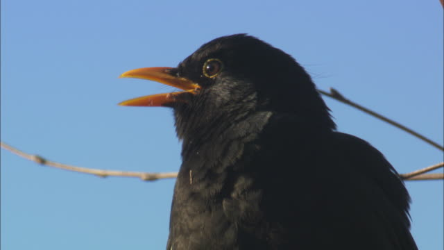 blackbird (turdus merula) sings in tree, scotland, uk - bird stock videos & royalty-free footage